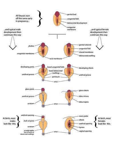 How Genital Development Happens